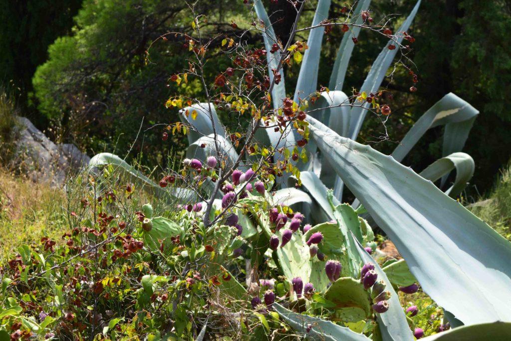 Kroatische Kaktusfeigen im Park Marjan in Split
