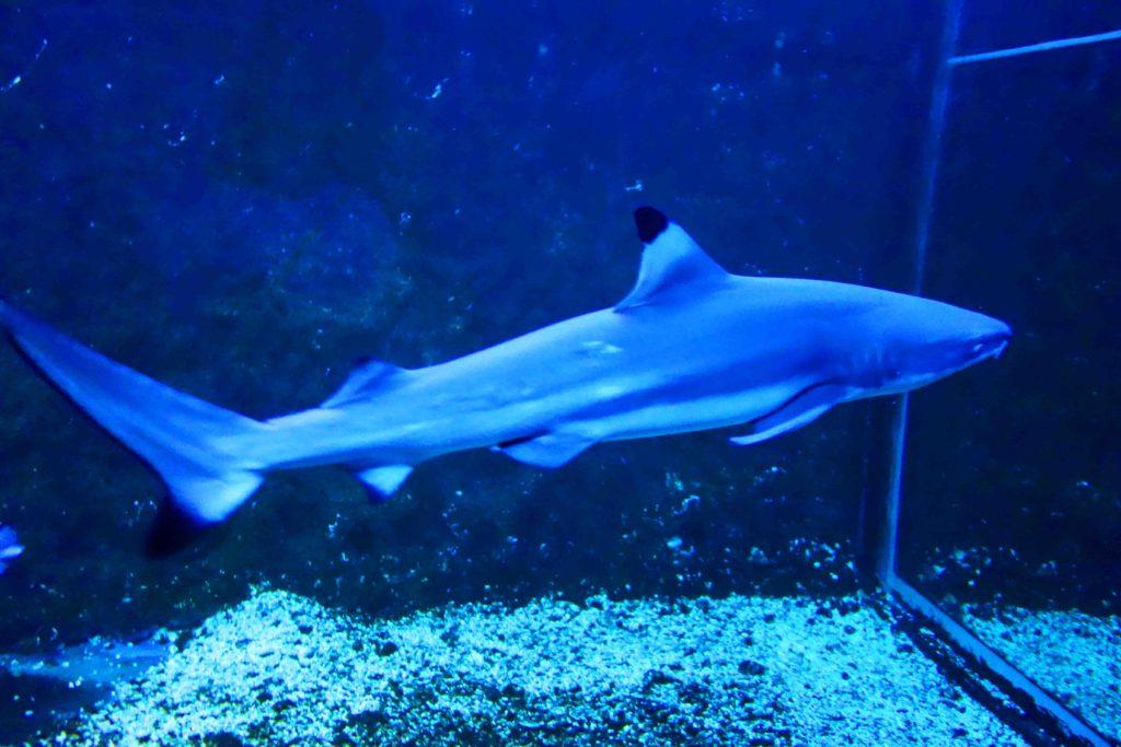 hai im aquarium zu hause hai im aquarium f r zuhause loro park hai tunnel und aquarium cooles. Black Bedroom Furniture Sets. Home Design Ideas