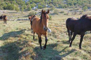 Pferde im Velebit