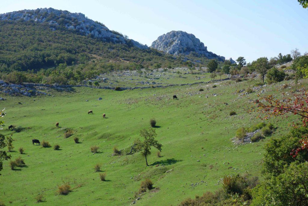 Grasende Kühe im Velebit