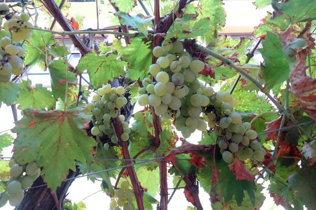 Weintrauben im Gästehaus Maksimilian Osijek