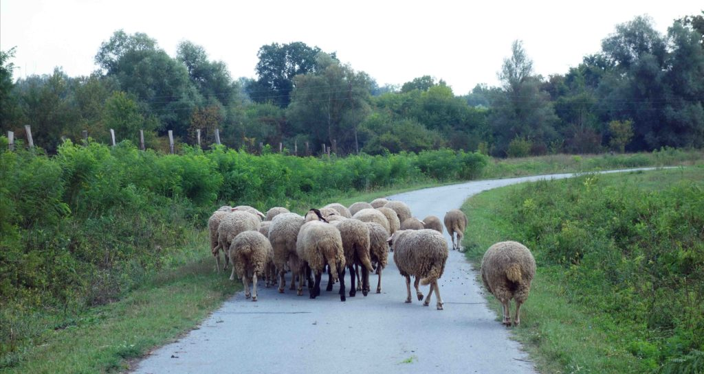 Schafe in Baranja, Kroatien